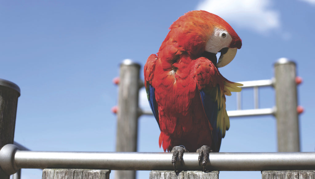 Scarlet Macaw | Chatterbox Birdy
