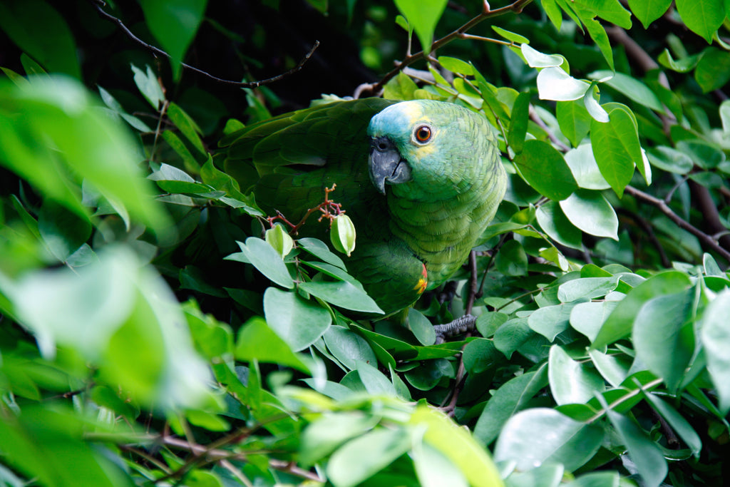 Blue Fronted Amazon | Chatterbox Birdy