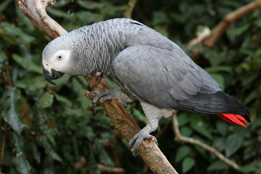 African Grey | Chatterbox Birdy
