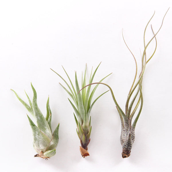 Air Plant - Tillandsia Tricolor - URBAN GREEN MAKERS