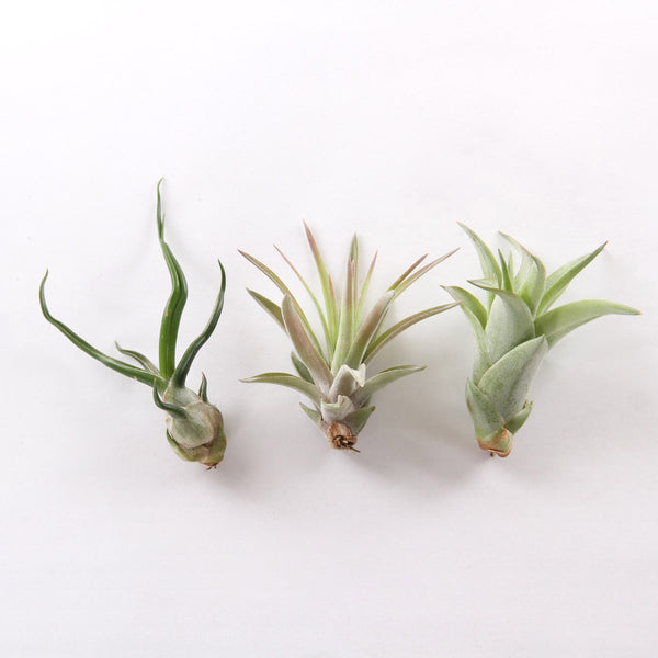 Air Plant - Tillandsia Brachycaulos - URBAN GREEN MAKERS