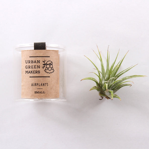Air Plant - Tillandsia Ionantha - URBAN GREEN MAKERS