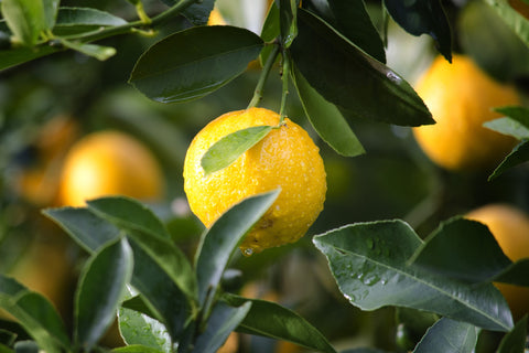 lemon fruit hanging from a tree