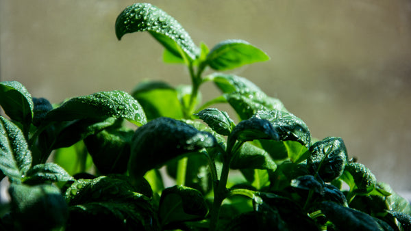 Essential Oil from Basil Contains Goodness from the Source
