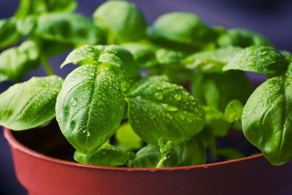 Basil Essential Oil Recipes, Benefits and Uses