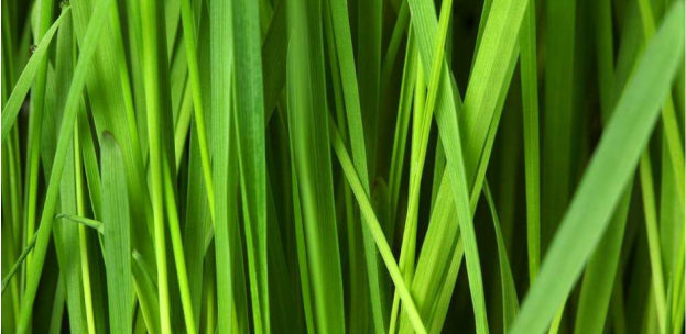 Lemongrass Essential Oil from Lemongrass Leaves Used in Drinks and Dishes