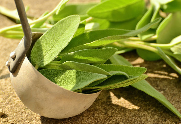 Essential Oil Is Steam Distilled from Sage Leaves