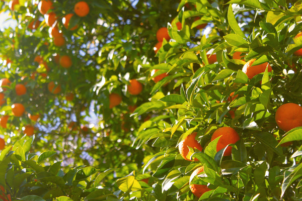 Tangerine Essential Oil for a Variety of Conditions