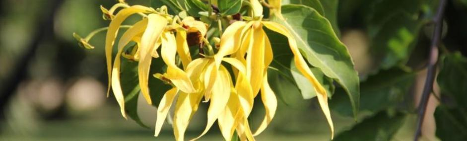 Ylang Ylang Essential Oil's Uses, Benefits, and Everything You Need to Know