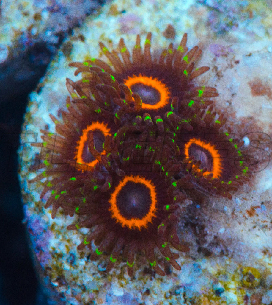 PHE Red Ring Zoanthids