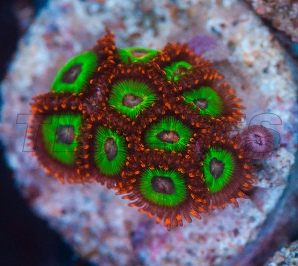 Emeralds on Fire Zoanthids