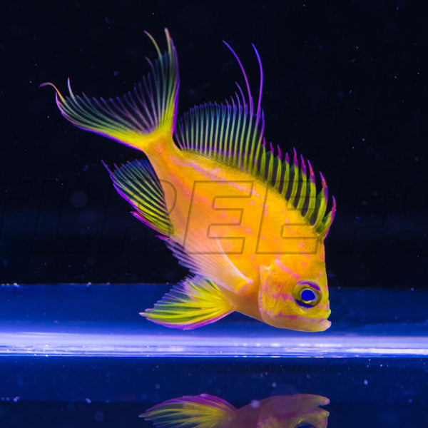 Captive Bred Hawaiian Yellow Anthias, WYSIWYG