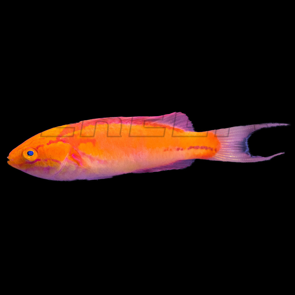 Johnson Fairy Wrasse