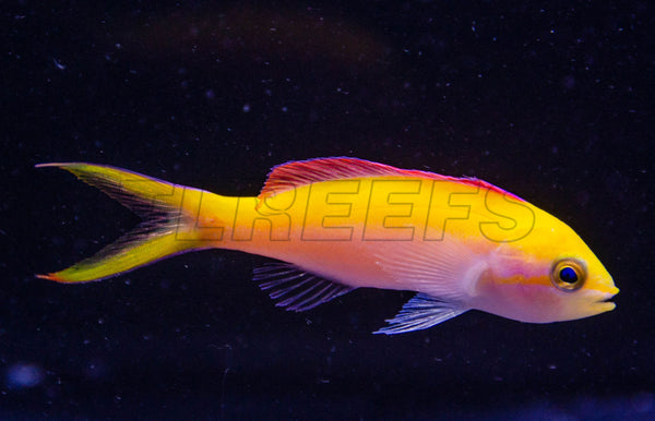 Bartlett's Anthias Variant, WYSIWYG