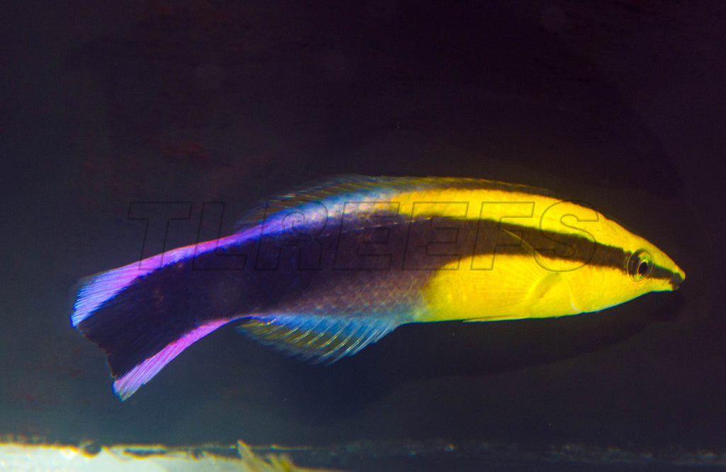 Hawaiian Cleaner Wrasse, WYSIWYG