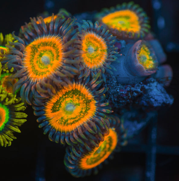 TLR Mango Delight Zoanthids