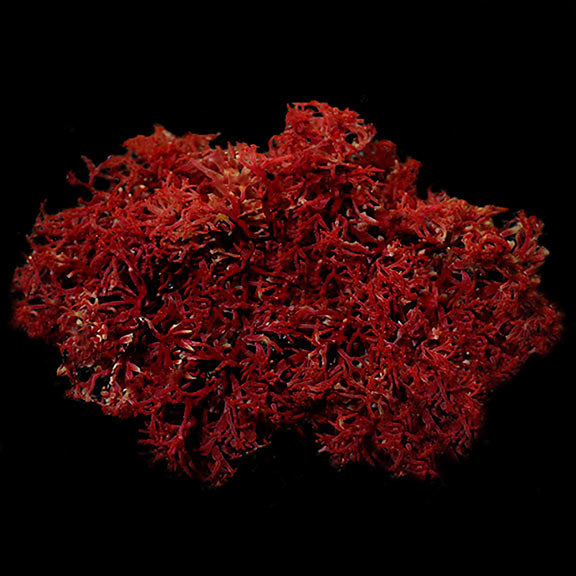 Red Dragon's Tongue Algae