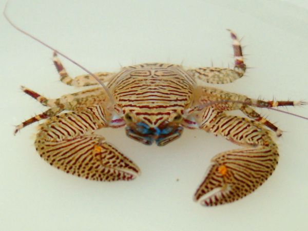 Crab, Porcelain