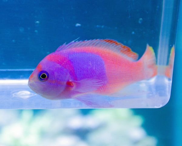 Squareback Anthias