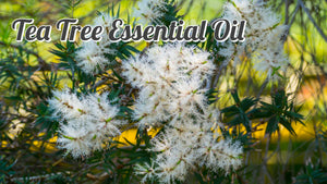 100% Pure & Natural Tea Tree Oil (Melaleuca Oil)