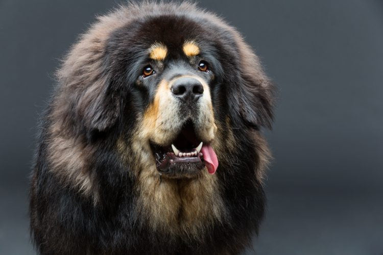 What's Happened to the World's Most Expensive Dog, The Tibetan Mastiff?