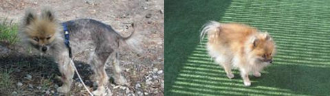 fur loss in dogs