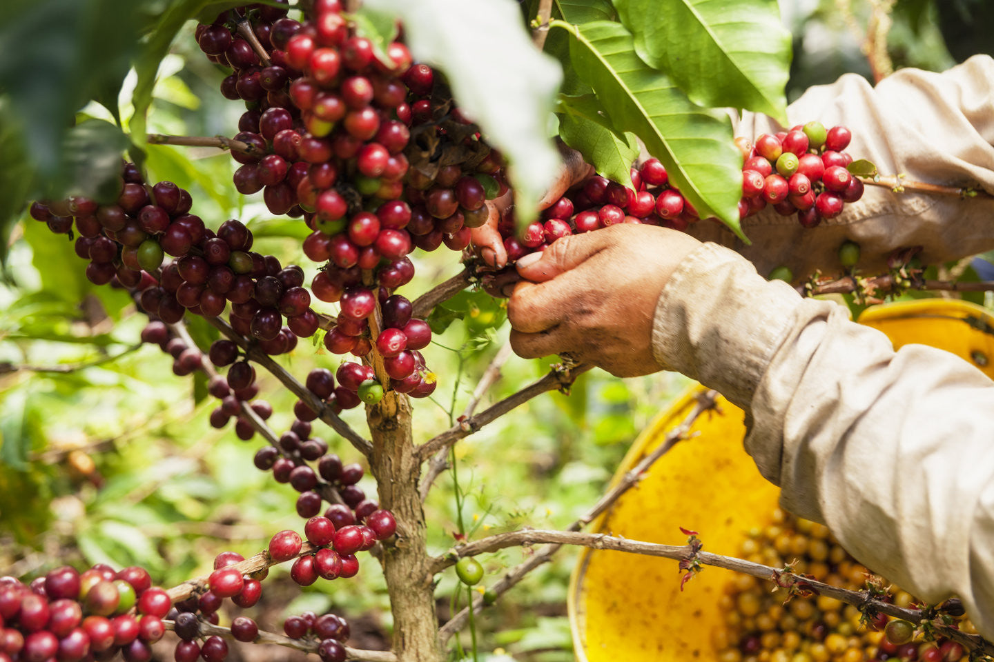 Today we look at Colombian FNC coffee beans and what makes them great!