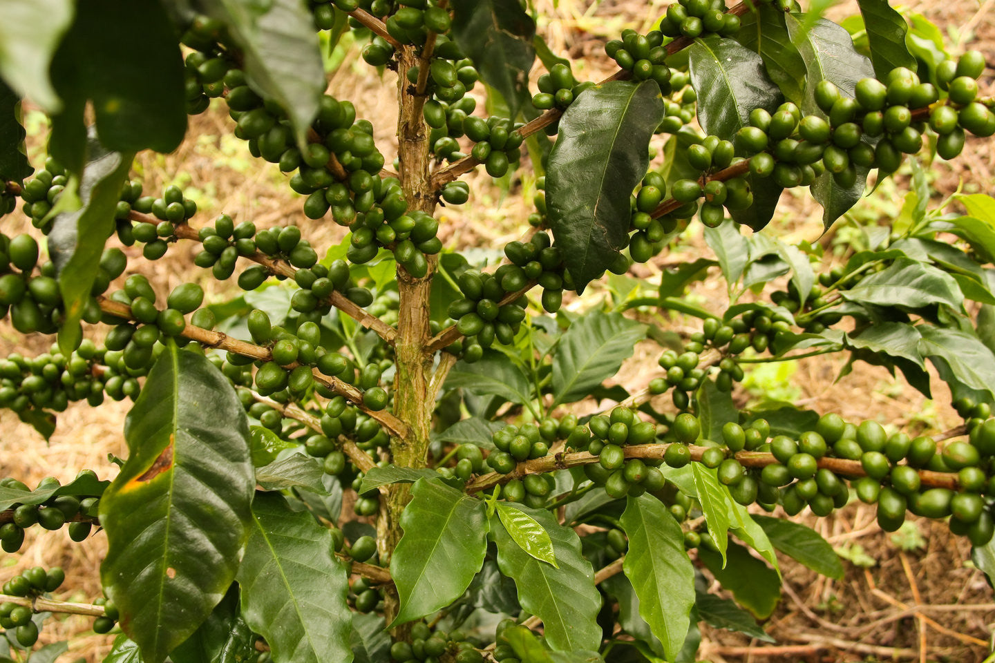 What is Fairtrade coffee and how does it help the farmers?