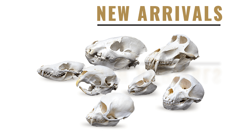 Skulls Unlimited: World Leader in Real/Replica Skulls & Skeletons ...