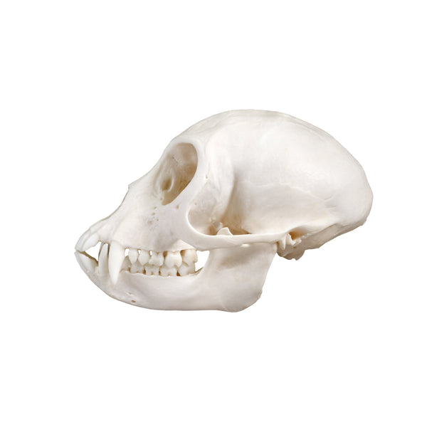 Real Vervet Monkey Skull (Female)