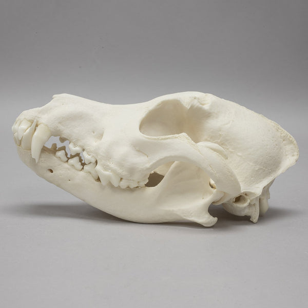 Real Domestic Dog Skull (Pathology)