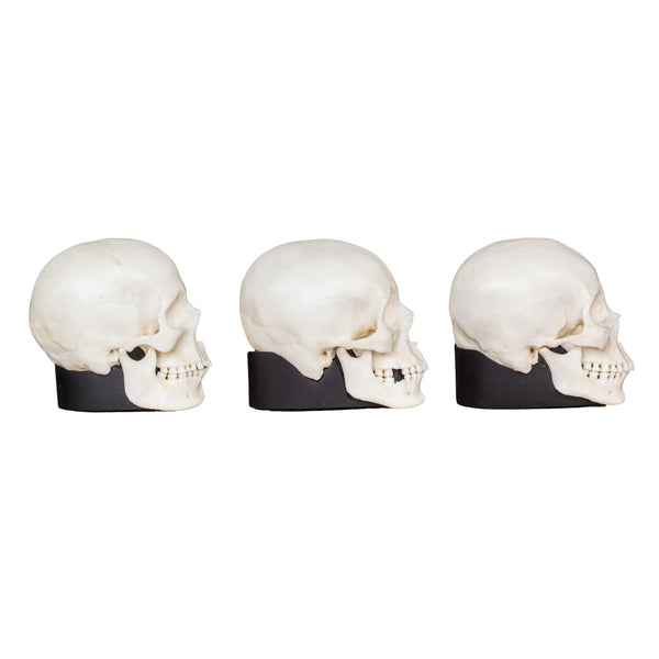 Replica Human Female Skull Set: African, Asian, and European