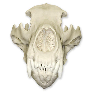 Replica Grizzly Bear Skull
