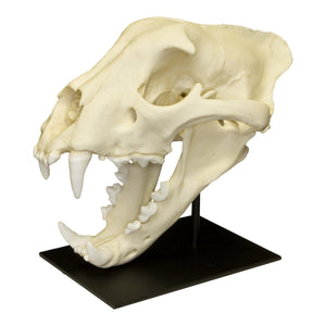 Replica Jaguar Skull