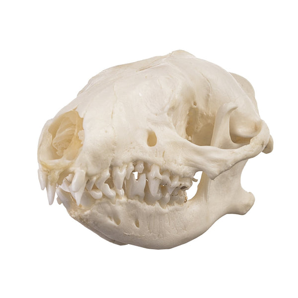 Real Hedgehog Skull
