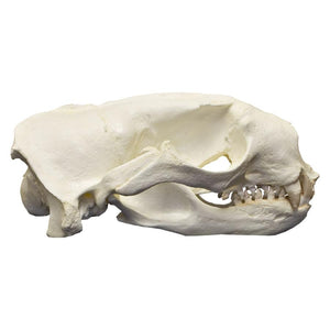Replica Northern Fur Seal Skull (Male)
