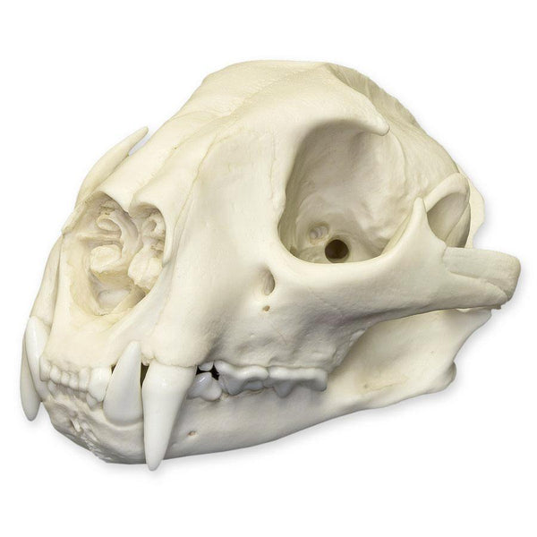 Replica Mountain Lion Skull (Male)
