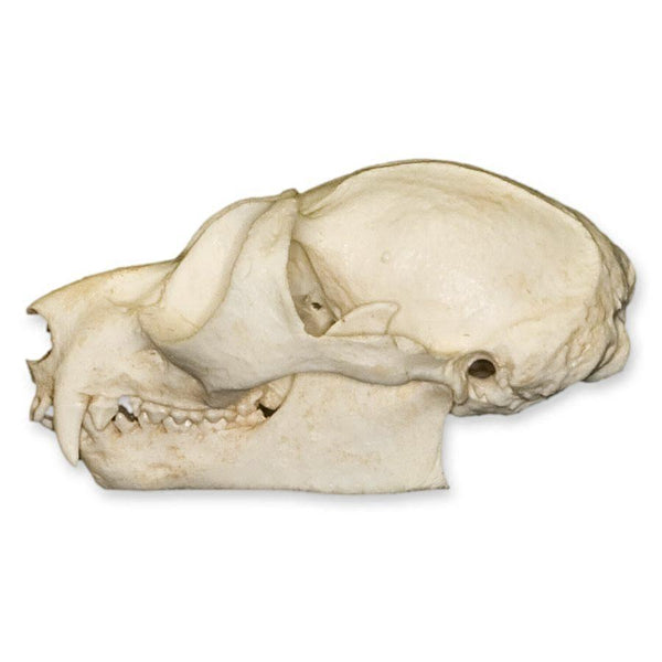Replica Potto Skull