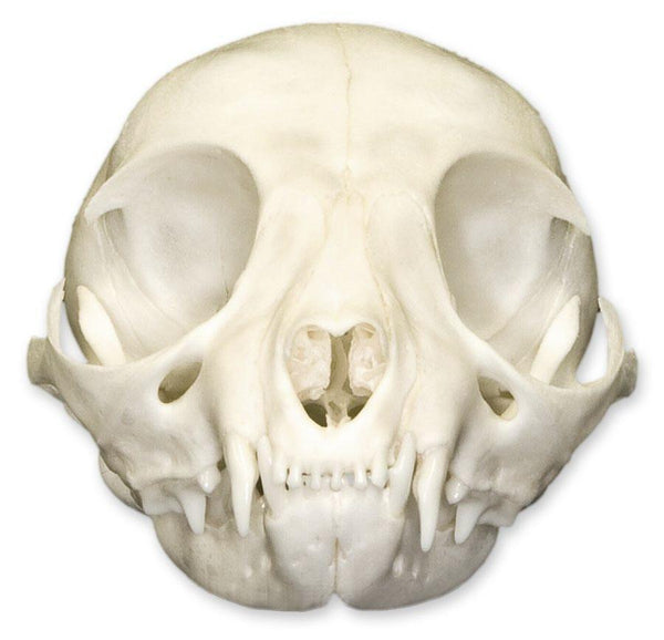 Real Domestic Cat Skull (Kitten)