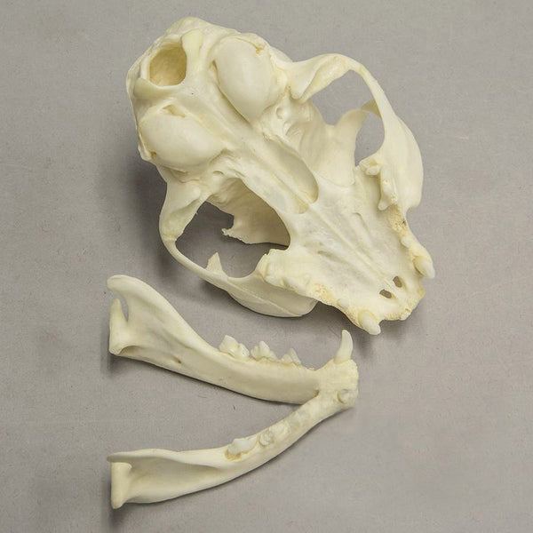 Real Domestic Cat Skull -Missing Incisors and Broken Canine