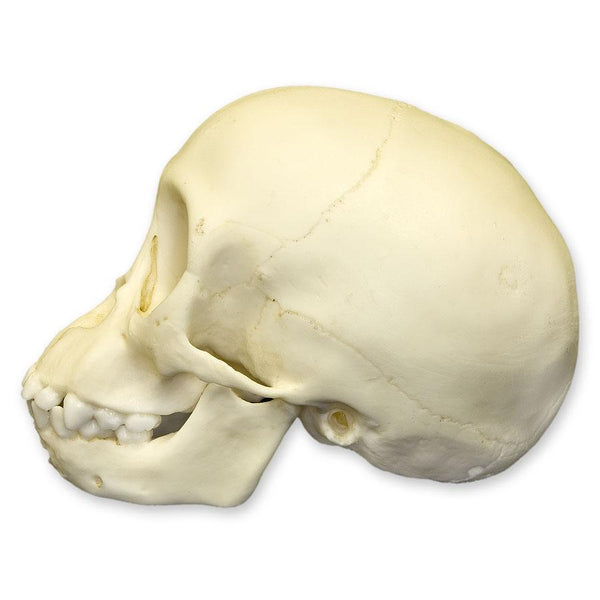 Replica Chimpanzee Infant Skull