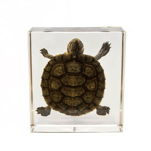 Real Turtle In Acrylic Display