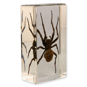 Real Spider in Acrylic Display