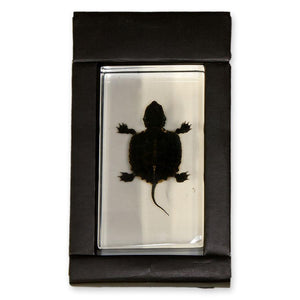 Real Turtle Paperweight