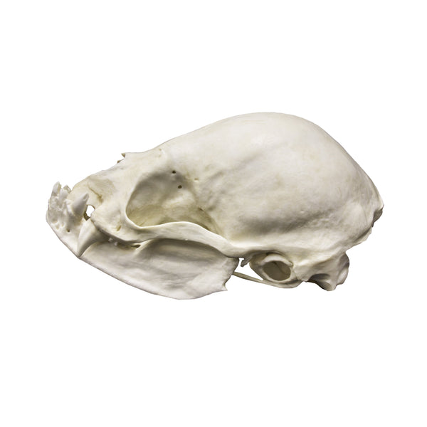 Replica Vampire Bat Skull (8:1 scale)