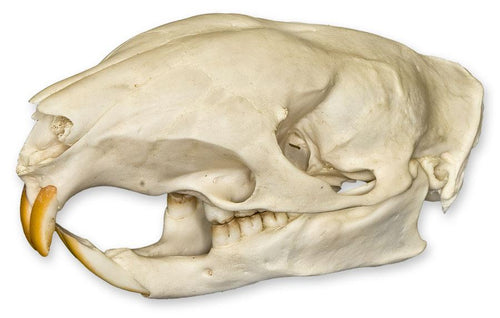 Real African Bush-tailed Porcupine Skull
