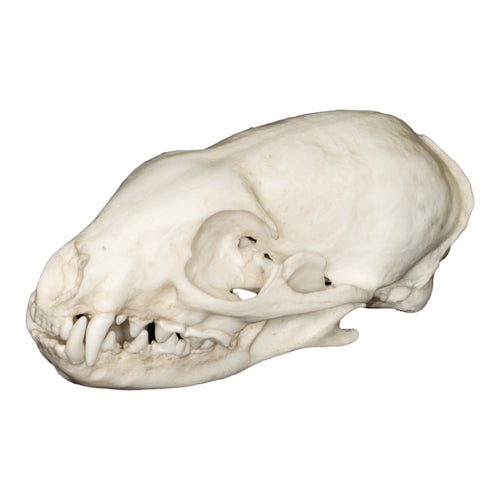 Replica African Gray Mongoose Skull