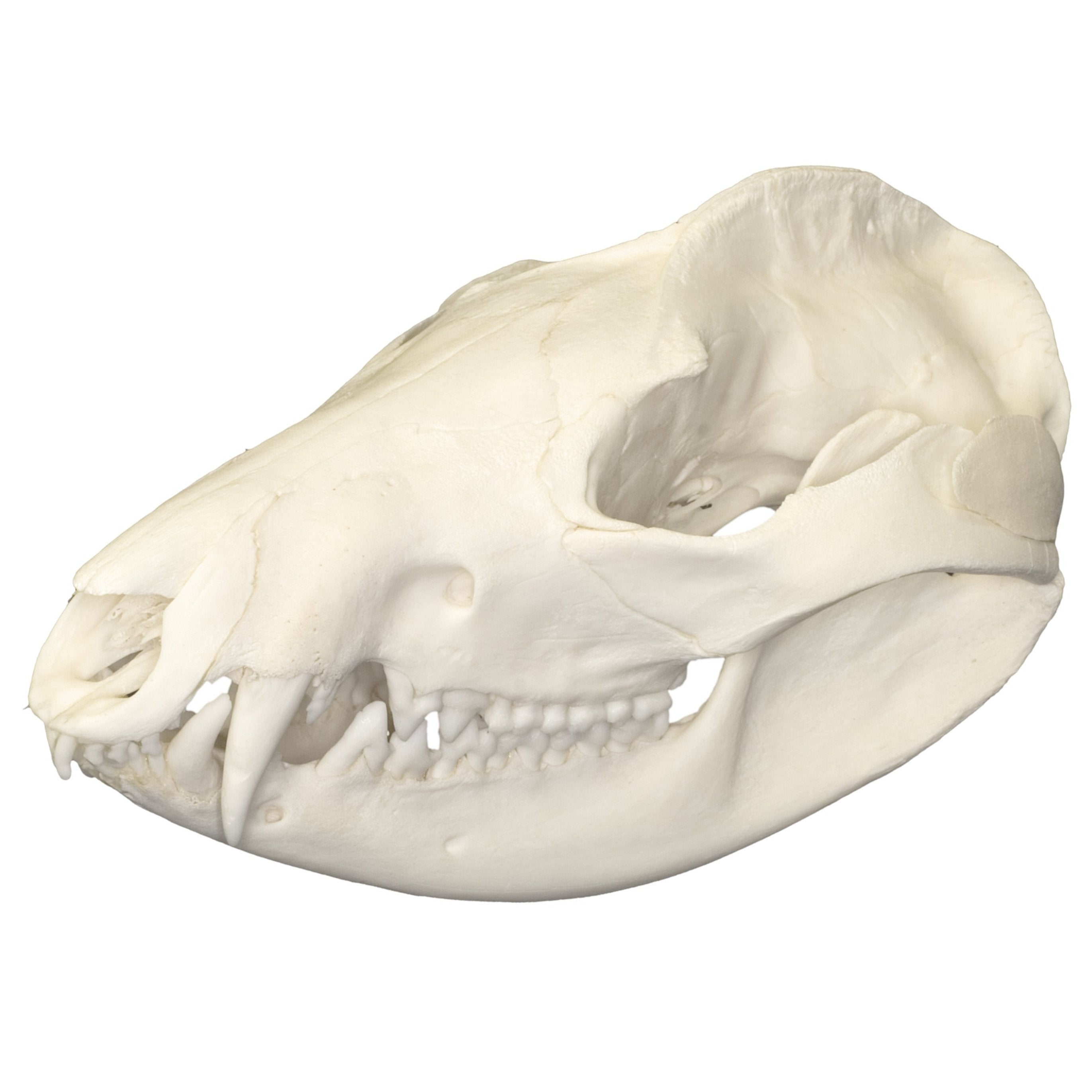 Real American Opossum Skull For Sale – Skulls Unlimited ...