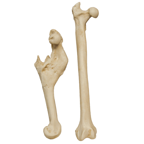 Replica Animal Pathology Bone Set