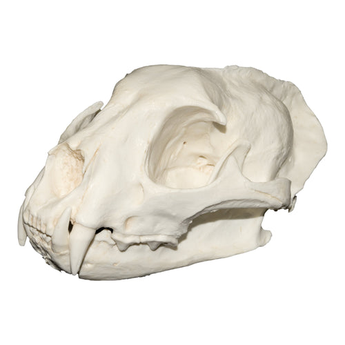Replica Asian Golden Cat Skull